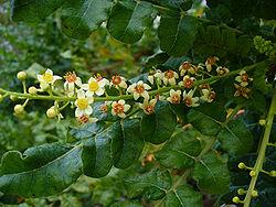 250px-Boswellia_sacra.jpg