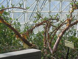250px-Boswellia-sacra-greenhouse.jpg